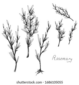 Rosemary. Sprig of plants with leaves. Fragrant Italian seasoning for food. Flowers. Black and white drawing in the old vintage style. Isolated clipart set on white background. Hand-drawn ink sketch.