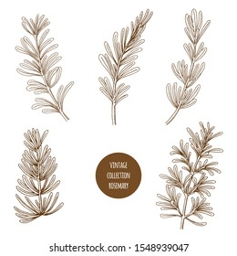 Rosemary. Vector hand drawn set of cosmetic plants isolated on white background. Essential oils components illustration. Aromatherapy ingredients icons. Sketch collection of natural floral elements.