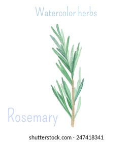 Rosemary. Watercolor herbs and spices collection. Vector hand drawn illustration. Isolated on white background