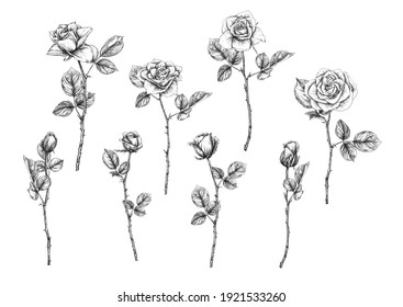 Roses flowers Clip art, set of elements for design Outline hand drawing vector illustration. Graphic drawing, engraving style. Vector illustration. Isolated on white background..