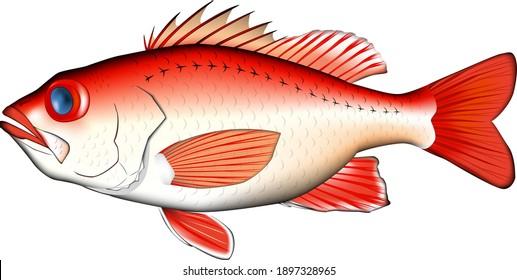 'Rosy seabass' illustration, vector EPS format, real art