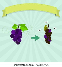 Rotten grape with flies and new grape. Blank ribbon for insert text.