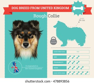 Rough Collie dog breed vector info graphics. This dog breed from United Kingdom