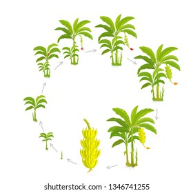 Round Crop cycle for banana tree. Crop stages bananas palm. Circular growing plants. Round harvest growth biology. Musa vector Illustration.