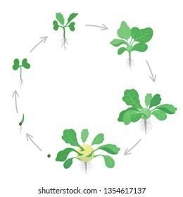 Round crop stages of Kohlrabi cabbage turnip. Circular growing Kohlrabi plant. Harvest growth vegetable. Brassica oleracea. Vector flat Illustration.