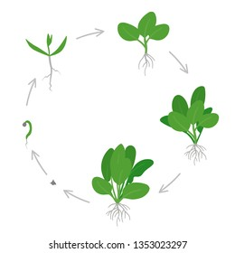 Round crop stages of Spinach. Circular growing Spinach plant. Green leafy vegetable growth. Spinacia oleracea. Vector flat Illustration.