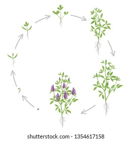 Round growth stages of Alfalfa plant. Vector flat illustration. Medicago sativa. Lucerne grown. Circular life cycle.