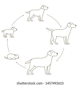 Round stages of dog growth set. From puppy to adult dog development. Animal mammals pets. Labrador retriever grow up circle animation progression. Pet life cycle. Outline contour line vector