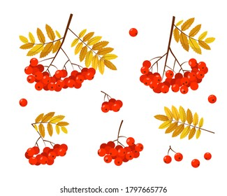 Rowan banches with red berries and leaves