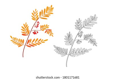 rowan twig. autumn foliage. Rowan. rowan berries. fall. fruits of trees. plants and trees. red berries. red and yellow foliage. coloring book for children. black and white and color options.