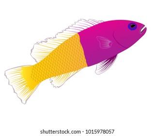 Royal Dottyback fish illustration