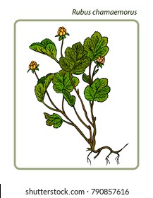 Rubus chamaemorus, cloudberry, bakeapple, knotberry and knoutberry, aqpik or salmonberry and averin or evron.