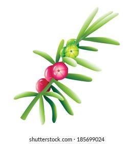 Ruby saltbush (Enchylaena tomentosa) vector