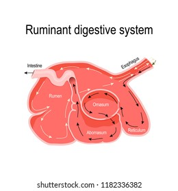 ruminant digestive system. cross-section of the ruminant stomach: rumen, reticulum, omasum, and abomasum (true stomach). Vector diagram for educational, medical, vet, biological and science use