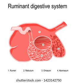 ruminant digestive system. Ruminants' stomachs have four compartments: rumen — primary site of microbial fermentation; reticulum; omasum — receives chewed cud, and abomasum — true stomach