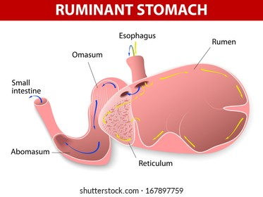 Ruminant stomach. The ruminant species have one stomach that is divided into four compartments: rumen, reticulum, omasum, abomasum. Ruminating mammals include cattle, goats, sheep, camels, antelope.