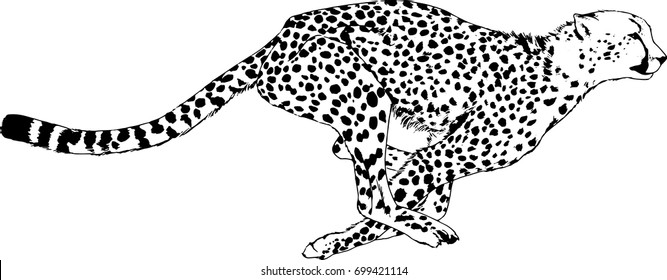running Cheetah drawn with ink on white background logo tattoo