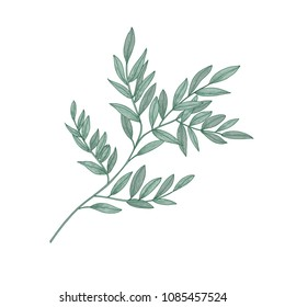 Ruscus sprig with green leaves isolated on white background. Beautiful natural drawing of gorgeous evergreen plant or shrub. Hand drawn vector illustration in elegant vintage style