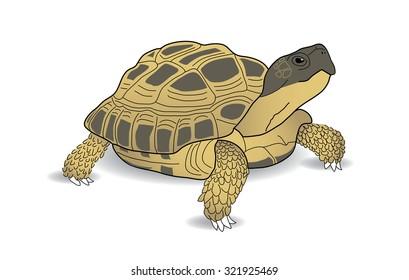 Russian Tortoise, Desert Tortoise, Horsefield Tortoise