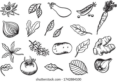 Rustic vector line drawing vegetables and leaves - hand drawn illustration