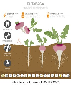 Rutabaga beneficial features graphic template. Gardening, farming infographic, how it grows. Flat style design. Vector illustration