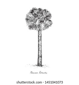 Sabal mexicana (Rio Grande, Mexican or Texas palmetto, Texas sabal palm, palmmetto cabbage) tree silhouette, hand drawn gravure style, vector sketch illustration with inscription