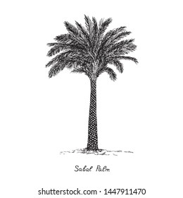 Sabal Palm (cabbage-palm, palmetto, cabbage, blue, Carolina or common palmetto, swamp cabbage) tree silhouette, hand drawn gravure style, vector sketch illustration with inscription