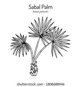 Sabal palm, or cabbage-palm (Sabal palmetto), state tree of Florida and South Carolina. Hand drawn botanical vector illustration