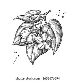 Sacha inchi vector drawing. Hand drawn plant branch with peanuts and leaves. Botanical illustration. Herbal engraved style sketch. Cosmetic and medical plant, essential oil ingredient.