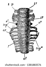 Sacrum of a nestling ventral aspect, vintage line drawing or engraving illustration.