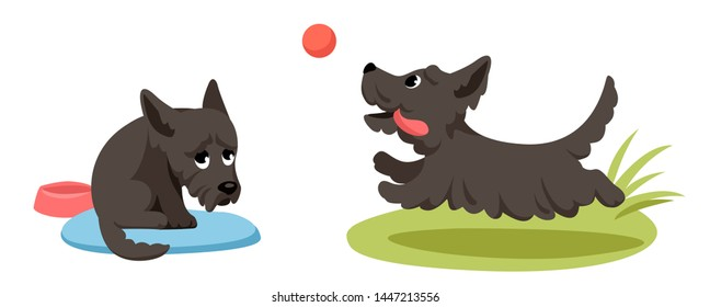 sad puppy of scotch terrier is sitting on the litter and a cheerful little dog runs after the ball for a walk.