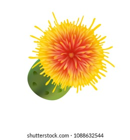 Safflower plant. Isolated on white background. Vector illustartion. Realistic yellow flower. Medical herb. Herbaceous plant.