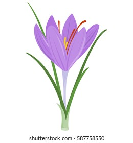 Saffron crocus flower. Crocus sativus