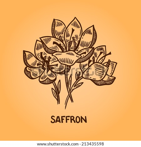 72b43a746c3c1 Saffron. Natural spices. Compilation of vector sketches. Kitchen herbs and  spice. Vintage