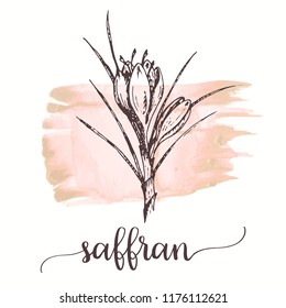 Saffron sketch on watercolor paint. Hand drawn ink illustration of saffron flower. Vector design for tags, cards, packaging, promo for spices