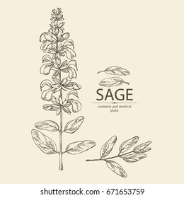 Sage: branch of sage, leaves and flowers of sage. Cosmetic, perfumery and medical plant. Vector hand drawn illustration.