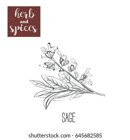 Sage hand drawing. Herbs and spices. Vector illustration sketch