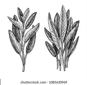 Sage ink sketch isolated on white background. Hand drawn vector illustration of salvia. Retro style.