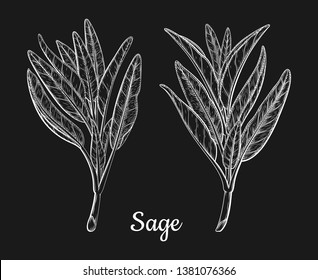 Sage or Salvia leaves leaf branch twig stick. Ink sketch vector illustration. Retro style. Ink hand drawn sage tea herb Illustration. Detailed vintage sketch