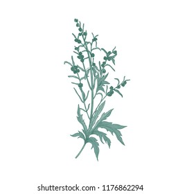 Sagebrush flower isolated on white background. Detailed natural drawing of blooming plant or flowering herb used in herbalism or herbal medicine. Elegant hand drawn floral vector illustration.