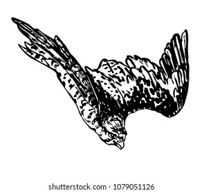 Saker falcon flying down. Vector black illustration of bird of prey