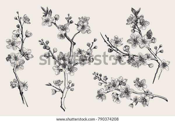 Сакура. Ветка цветения вишни. Векторная ботаническая иллюстрация. Черное и белое. Сет