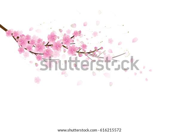 Сакура цветы фон. Цветение вишни изолированный белый фон