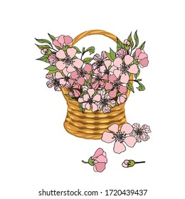 Sakura flowers in basket wicker with a vine. Bouqet pink flowers art design elements object isolated stock vector illustration for web, for print