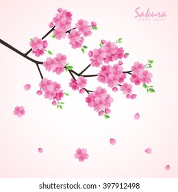 Sakura flowers vector illustration.