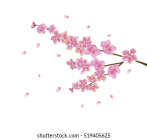Sakura    . postcard .