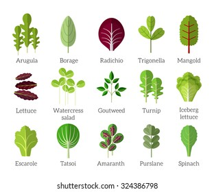 Salad ingredients. Leafy vegetables vector flat icons set. Organic and vegetarian, borage and radichio, trigonella and mangold illustration