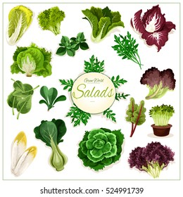 Salad vegetables. Vector isolated arugula, chicory salad and spinach, lollo rossa, radicchio, swiss chard salad and batavia lettuce, gotukola, mangold and kale, collard, romaine, pak choi, sorrel.