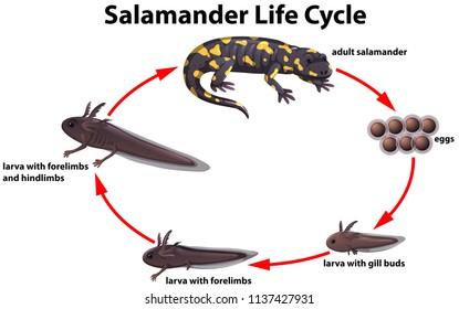 Salamander life cycle concept illustration