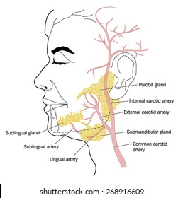 The salivary glands and the blood vessels of the neck and face. Created in Adobe Illustrator.  Contains transparencies.  EPS 10.